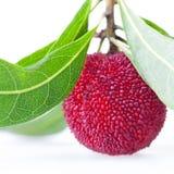 Закройте вверх одной ягоды воска Стоковые Фотографии RF