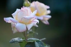 Закройте вверх падений лепестка и воды белой розы дополнительный праздник формата карты Стоковое Изображение RF