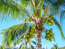 Закройте вверх пальмы со своими кокосами с красивой предпосылкой голубого неба стоковое фото rf