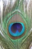 Закройте вверх пера павлина Стоковые Фото