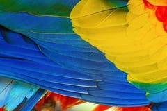 Закройте вверх пер птицы ары шарлаха стоковое изображение rf