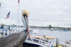 Закройте вверх пеликана на пляже Ньюпорта Стоковые Фотографии RF