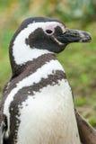 Закройте вверх пингвина в природе Стоковая Фотография