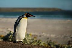Закройте вверх пингвина короля идя на песчаный пляж Стоковое Изображение