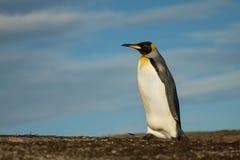 Закройте вверх пингвина короля идя на побережье Стоковые Изображения RF
