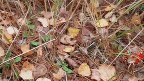 Закройте вверх пластинчатого гриба мухы в лесе под множеством игл сосны видеоматериал