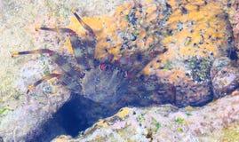 Закройте вверх подводного темного ого-зелен краба с красными глазами среди кораллового рифа - морской флоры и фауны на островах A стоковые изображения