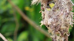 Закройте вверх поддерживаемой оливк семьи sunbird; птица младенца в гнезде птицы вися на еде ветви дерева ждать от матери Общие п акции видеоматериалы