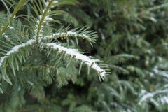 Закройте вверх покрытой снегом ветви yew с неполовозрелыми мужскими конусами Стоковая Фотография