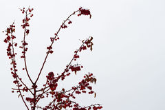 Закройте вверх покрытых льдом яблок краба на дереве, парке зимы плодоовощей красного цвета на заднем плане снежном Wintertime, ро Стоковое Фото