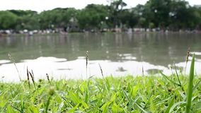 Закройте вверх поля зеленой травы с печенью Зеленое поле предпосылки травы видеоматериал