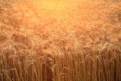 Закройте вверх поля при золотая, зрея пшеница назад загоренная заходящим солнцем Яркая аграрная предпосылка Стоковые Фотографии RF