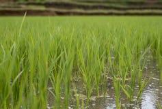 Закройте вверх поля риса в Pleiku стоковые фото