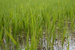 Закройте вверх поля риса в Pleiku стоковое изображение