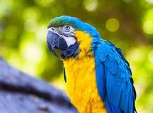 Закройте вверх попугая ары сини и золота Стоковая Фотография RF