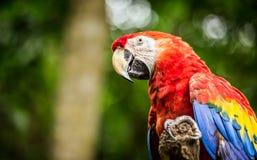 Закройте вверх попугая ары шарлаха Стоковые Изображения
