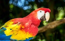 Закройте вверх попугая ары шарлаха Стоковые Фото