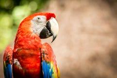 Закройте вверх попугая ары шарлаха Стоковое фото RF