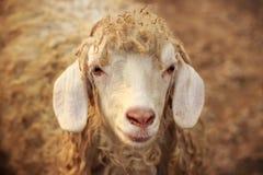 Закройте вверх портрета головы ` s овец Стоковое фото RF