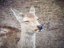 Закройте вверх, портрет оленей в парке Nara Стоковые Изображения