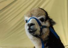 Закройте вверх по ламе альпаки на экспо фермы Стоковое фото RF
