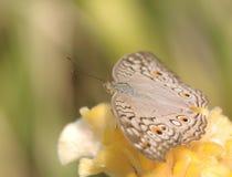Закройте вверх по бабочке на желтом цветке Стоковое Изображение