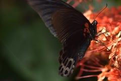 Закройте вверх по бабочке с цветком sirih nona makan Стоковое Изображение