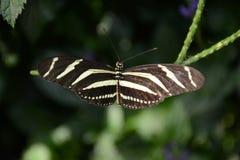 Закройте вверх по бабочке Longwing зебры съемки Стоковое Изображение RF