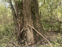 Закройте вверх по белому дубу с лозами kudzu стоковое фото rf