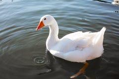Закройте вверх по белой гусыне в озере Стоковое фото RF