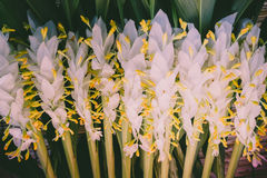 Закройте вверх по белому цветку дерева globba или имбиря pl дам танцев Стоковая Фотография
