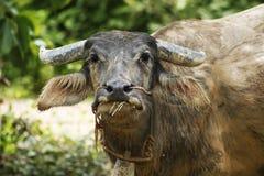 Закройте вверх по буйволу есть зеленую траву, Таиланд Стоковое фото RF