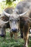 Закройте вверх по буйволу есть зеленую траву, Таиланд стоковая фотография