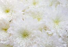 Закройте вверх по букету белых хризантем Стоковая Фотография