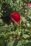 Закройте вверх по бутону красной розы Стоковая Фотография