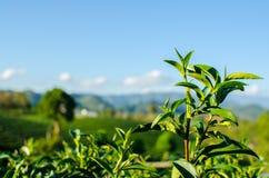 Закройте вверх по верхней части дерева чая Стоковое Изображение