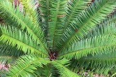 Закройте вверх по верхней части пальмы Стоковое Фото