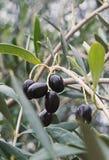 Закройте вверх по ветви оливкового дерева и черных зрелых оливок Стоковая Фотография