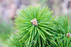 закройте вверх по ветви сосны с иглами Стоковое Фото
