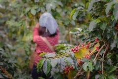 Закройте вверх по ветви ягод кофе arabica красных с worki фермеров Стоковые Фото