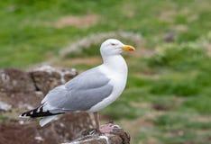 Закройте вверх по взгляду европейского argentatus Larus чайки сельдей Стоковые Изображения RF