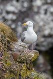 Закройте вверх по взгляду европейского argentatus Larus чайки сельдей Стоковая Фотография RF