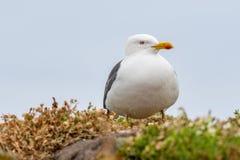 Закройте вверх по взгляду европейского argentatus Larus чайки сельдей Стоковое Изображение RF