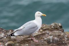 Закройте вверх по взгляду европейского argentatus Larus чайки сельдей Стоковая Фотография