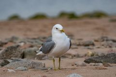 Закройте вверх по взгляду европейского argentatus Larus чайки сельдей Стоковые Фотографии RF