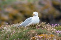 Закройте вверх по взгляду европейского argentatus Larus чайки сельдей Стоковые Фото