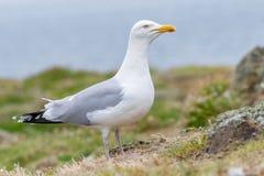 Закройте вверх по взгляду европейского argentatus Larus чайки сельдей Стоковые Изображения