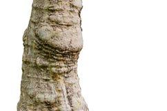 Закройте вверх по взгляду изолированного ствола дерева на белой предпосылке Стоковые Изображения