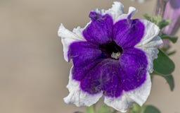 Закройте вверх по взгляду красивых фиолетовых и белых цветков петуньи Стоковое фото RF