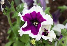 Закройте вверх по взгляду красивых фиолетовых и белых цветков петуньи Стоковое Изображение